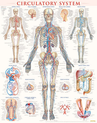 Circulatory System - poster