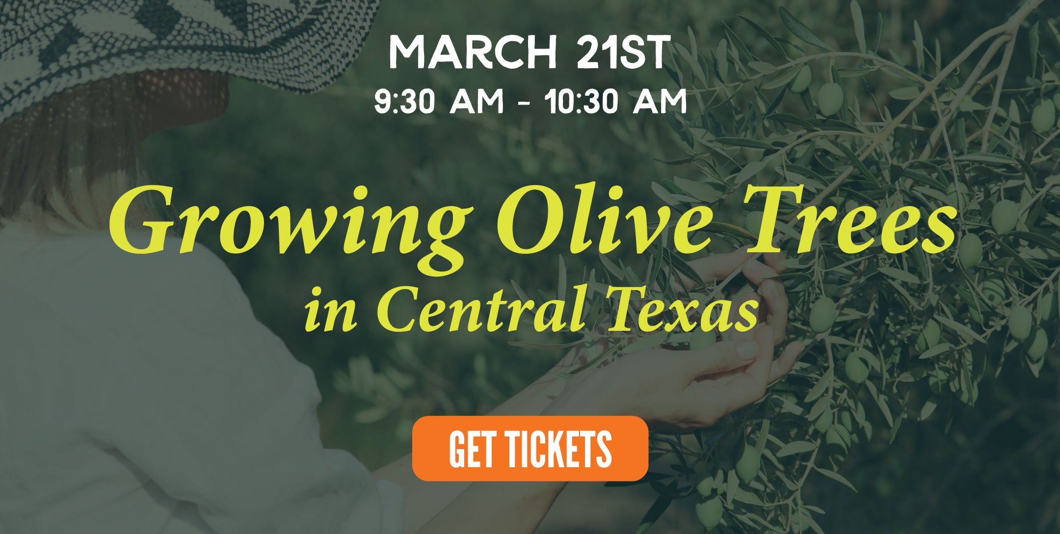 growing olives central texas | texas hill country olive co.