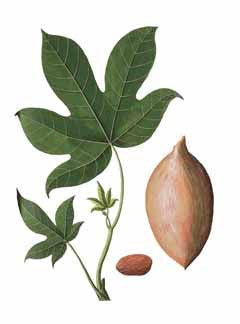 Indian Walnut l Candlenut l Country  Walnut l Aleurites moluccana 6