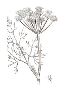 Dill l Anethum graveolens 3