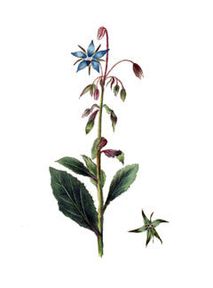 Borage l Common Borage l Cool-Tankard-Tailwort l Borago officinalis 2