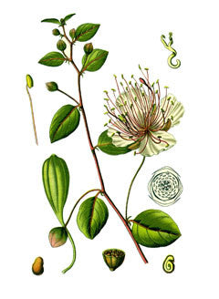 Caper l Common Caper l Caper Bush l Capparis spinosa 3