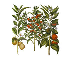 Sweet Orange l Citrus sinensis