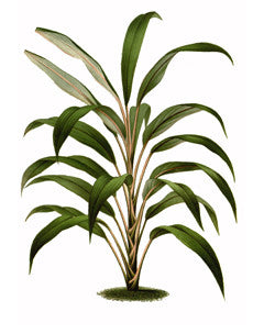 Cabbage Palm l Good Luck Plant l Palm Lily l Cordyline fruticosa