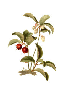 Checkerberry l Eastern Teaberry l Teaberry l Creeping Wintergreen l Gaultheria procumbens 2