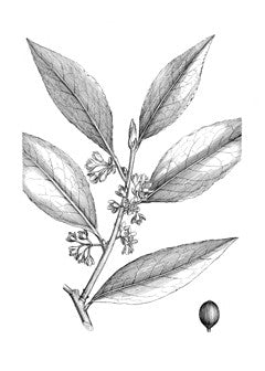 Bay Tree l Sweet Bay l Grecian Laurel l True Laurel l Laurus nobilis