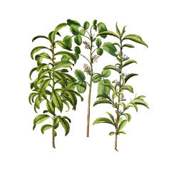 Bay Tree l Sweet Bay l Grecian Laurel l True Laurel l Laurus nobilis 2