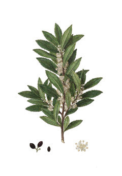 Bay Tree l Sweet Bay l Grecian Laurel l True Laurel l Laurus nobilis 3