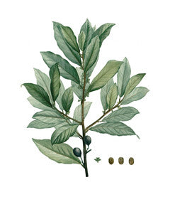 Bay Tree l Sweet Bay l Grecian Laurel l True Laurel l Laurus nobilis 4