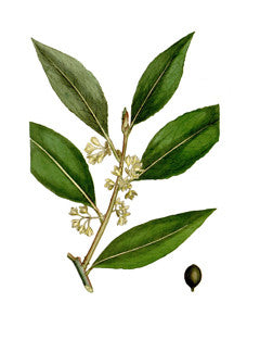 Bay Tree l Sweet Bay l Grecian Laurel l True Laurel l Laurus nobilis 5