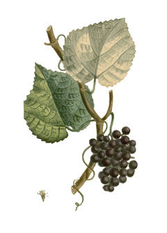 Northern Fox Grape l Fox Grape l Vitis labrusca