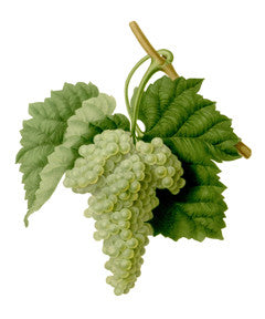 Grape l Wine Grape l Purpleleaf Grape l Common Grape l Vitis vinifera