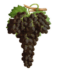 Grape l Wine Grape l Purpleleaf Grape l Common Grape l Vitis vinifera 3