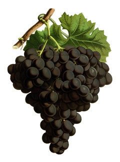 Grape l Wine Grape l Purpleleaf Grape l Common Grape l Vitis vinifera 5