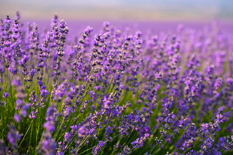Lavender Scented Simmering Oil