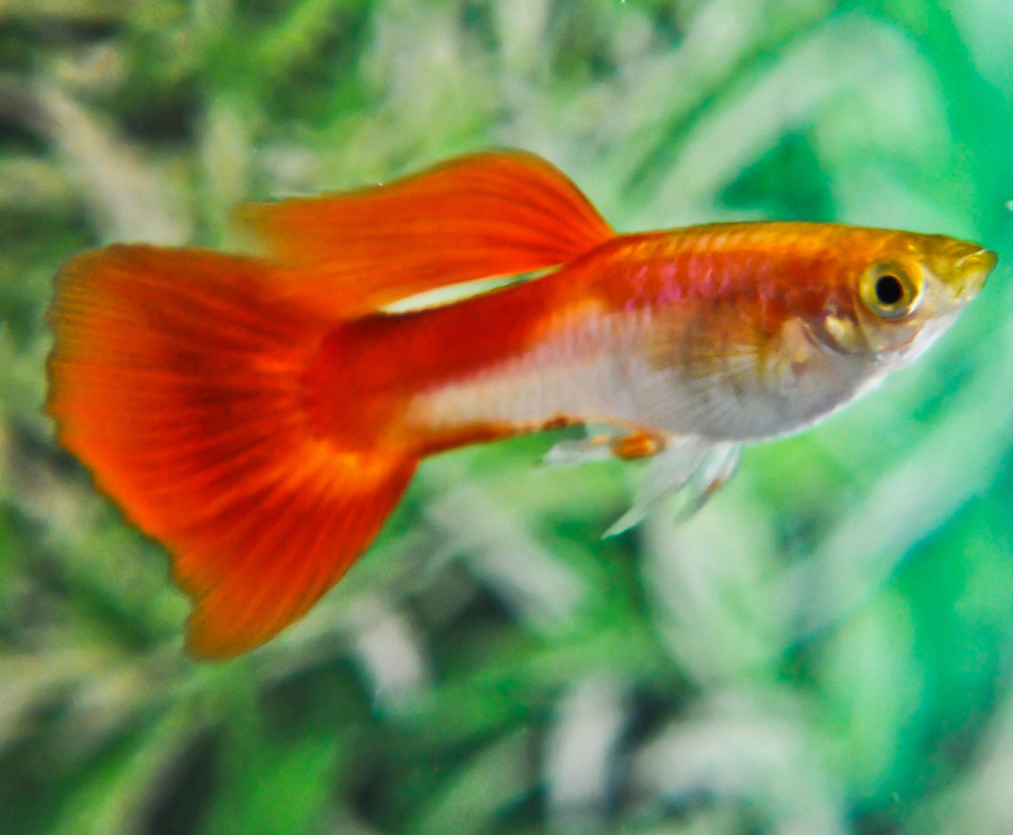 Hawaiian Pearl Guppies – Hawaiian Guppies
