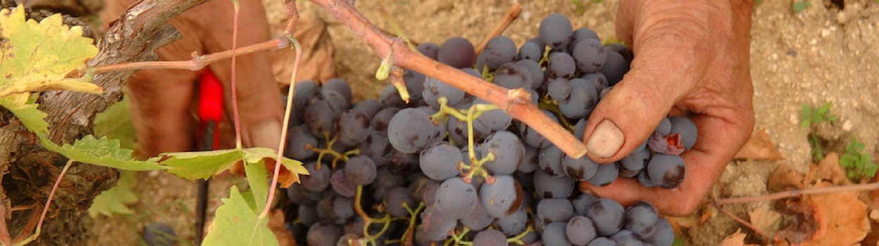 Handpicked grapes for natural winemaking