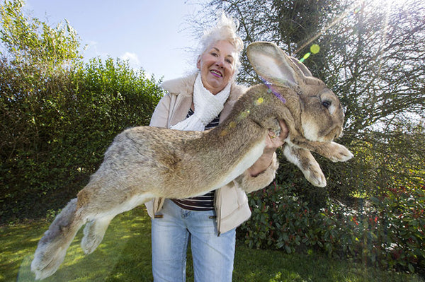 Darius Giant Rabbit