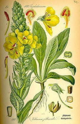 Healing with Verbascum Thapsus: Mullein