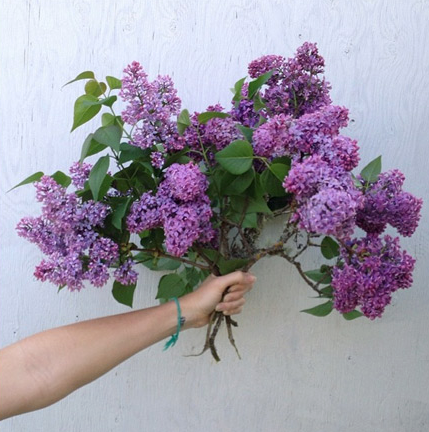 lilac, lilac bouquet, herbs for stress, herbs for anxiety, herbs for stress and anxiety
