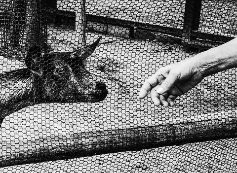 Meg Hewitt, Goat with a hand, Kyoto, 2015