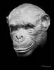 chimpanzee drawing cast, chimpanzee sculpture cast, chimpanzee mask, art reference cast, chimpanzee plaster cast for artist, chimpanzee, animal mask, animal reference anatomy, 3d animal reference