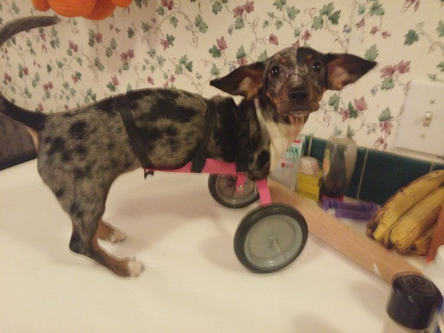 2 Legged Dachshund Melts Hearts Thanks to 3-D Printing