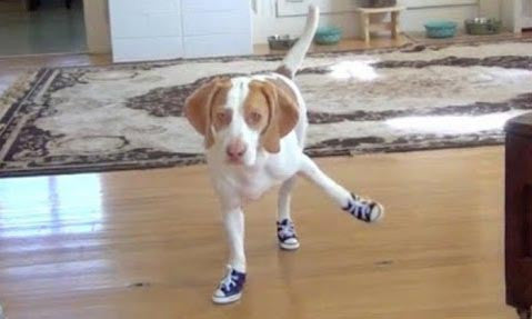 10 Hilarious Videos of Dogs Wearing Shoes