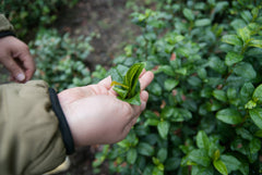 Picking tea leaves by gripping mandokoro style