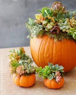 Succulent Pumpkin Centre piece {Saturday October 6th) 10AM-11:30AM