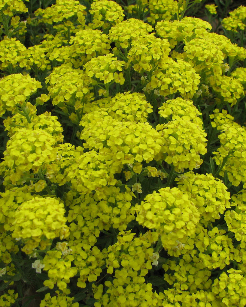 Alyssum 'Mountain Gold' | Perennial | Large trees, shrubs, landscaping | Countryside Garden Centre