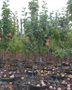 Apple 'Goodland' Tree Catalog Okotoks Calgary Garden Alberta Landscaping Trees