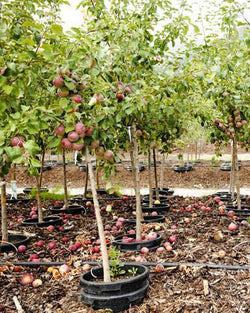 Apple 'Hardi Mac' Tree Catalog Okotoks Calgary Garden Alberta Landscaping Trees