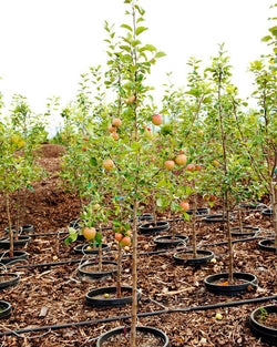 Apple 'Honey Crisp' Tree Catalog Okotoks Calgary Garden Alberta Landscaping Trees