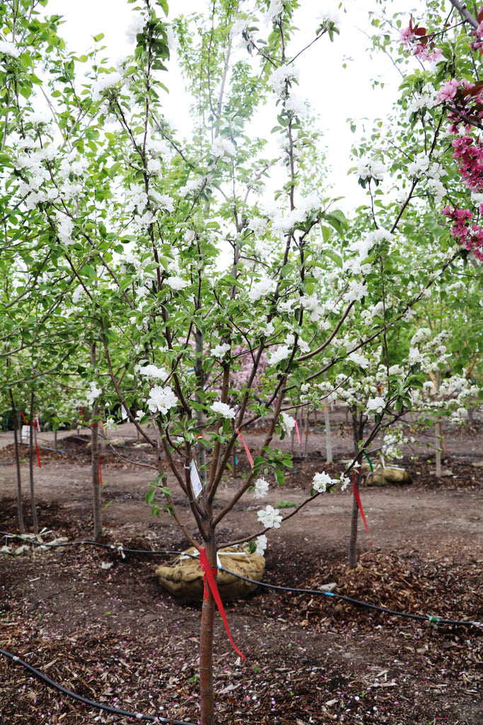 Apple 'Parkland' | Tree Catalog | Large trees, shrubs, landscaping | Countryside Garden Centre