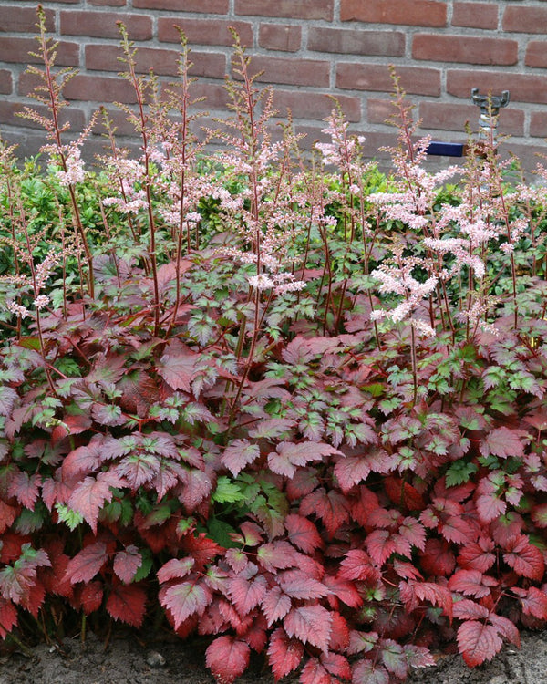 Astilbe \'Colour Flash Lime\'| Countryside Garden Centre and ...