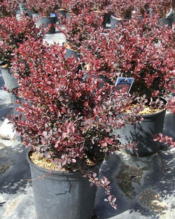Barberry 'Royal Burgundy' Shrub Catalog Okotoks Calgary Garden Alberta Landscaping Trees