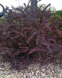 Barberry  'Ruby Carousel' Shrub Catalog Okotoks Calgary Garden Alberta Landscaping Trees