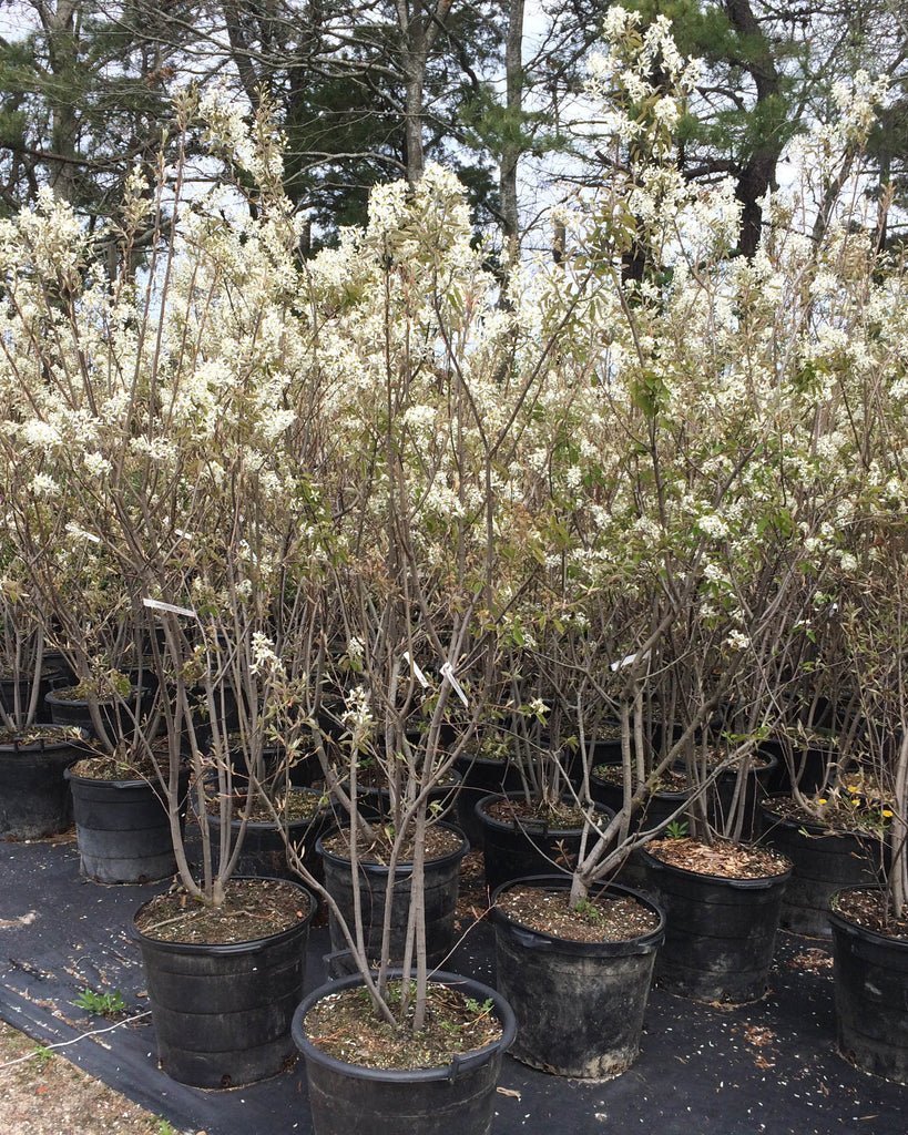 Crabapple 'Snow Cap' | Tree Catalog | Large trees, shrubs, landscaping | Countryside Garden Centre