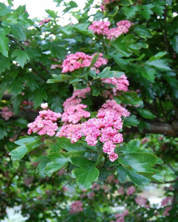Hawthorn 'Toba' | Tree Catalog | Large trees, shrubs, landscaping | Countryside Garden Centre