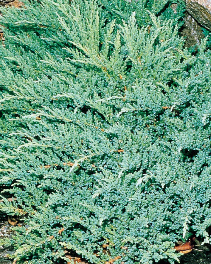 Juniper 'Prince of Wales' Standard | Countryside Landscapes & Garden Centre