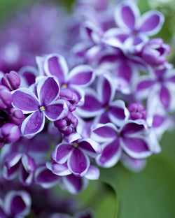 Lilac 'Sensation French' Shrub Catalog Okotoks Calgary Garden Alberta Landscaping Trees