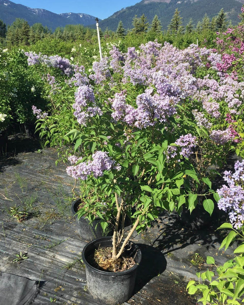 Lilac 'Wedgewood Blue' | Shrub Catalog | Large trees, shrubs, landscaping | Countryside Garden Centre