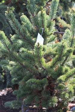 Pine 'Mountain' Tree Catalog Okotoks Calgary Garden Alberta Landscaping Trees