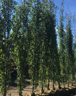 Aspen 'Swedish Columnar' Tree, one of the best columnar trees you will find for the Calgary Area, fast growing and hardy tree for the prairies.