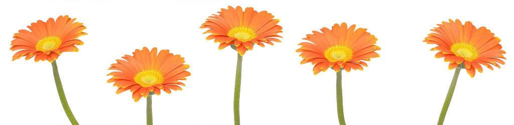 Orange gerbera daisies isolated white background