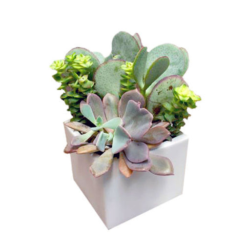 Square white vase with 3 varieties of green succulent