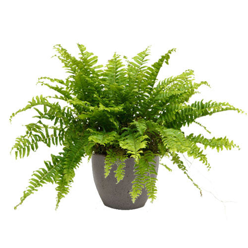 Potted fern plant in a cement container