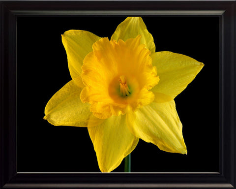 Yellow Daffodil, Wall Art 8x10 Framed Photo