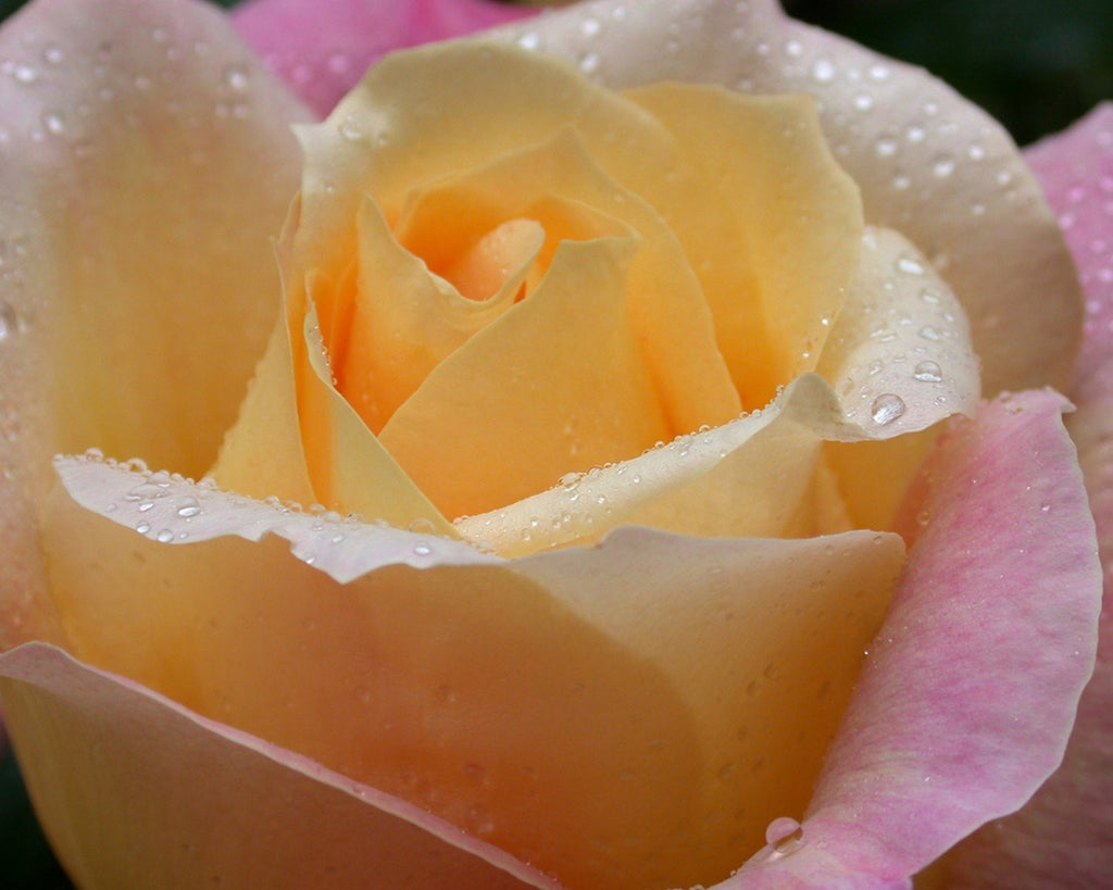Rose With Water Drops, Wall Art 8x10 Photo